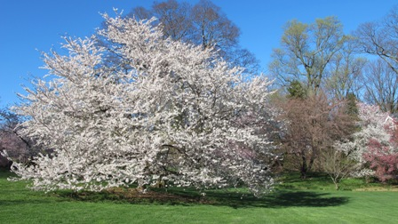 Swarthmore Real Estate - Swarthmore PA - Cherry Border At Swarthmore College - Scott Arboretum